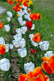 Tulipes rouges et blanches Photographie stock