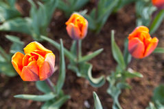 Tulipes rouges et de couleur orange Photographie stock