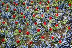 Tulipes rouges et fleurs de myosotis plantées en parc, vue f Images libres de droits