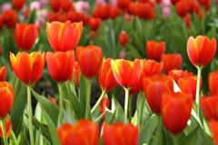 Tulipes rouges et jaunes Image stock