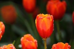 Tulipes rouges et jaunes Photographie stock libre de droits