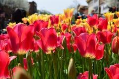 Tulipes rouges et jaunes chez Tulip Time Festival en Holland Michigan Photographie stock