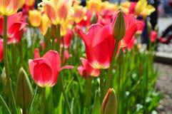 Tulipes rouges et jaunes chez Tulip Time Festival en Holland Michigan Image libre de droits