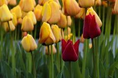Tulipes rouges et jaunes dans le jardin Image stock