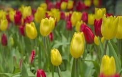 Tulipes rouges et jaunes/tulipes rouges et jaunes dans le jardin images stock
