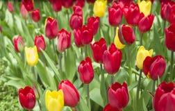 Tulipes rouges et jaunes/tulipes rouges et jaunes dans le jardin images libres de droits
