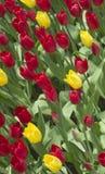 Tulipes rouges et jaunes/tulipes rouges et jaunes dans le jardin photographie stock libre de droits