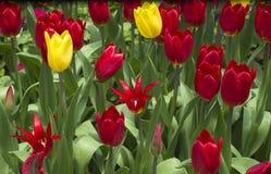 Tulipes rouges et jaunes/tulipes rouges et jaunes dans le jardin photo stock