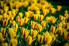 Tulipes rouges et jaunes de Hollande Image libre de droits