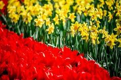 Tulipes rouges et jonquilles jaunes de Hollande Images libres de droits