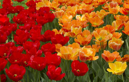 Tulipes rouges et oranges Photo stock