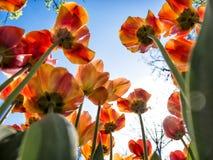 Tulipes rouges et oranges vues de dessous Photos libres de droits