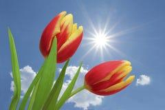 Tulipes rouges et rayé jaune, contre le ciel bleu avec des nuages image stock