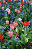 Tulipes rouges et roses de beau jardin Image libre de droits