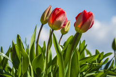 Tulipes rouges fleuries Photographie stock
