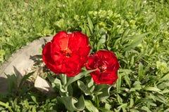 Tulipes rouges Fleurs rouges sur l'herbe verte Photo stock