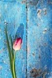 Tulipes rouges fraîches Photographie stock libre de droits