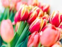Tulipes rouges fraîches Photo libre de droits