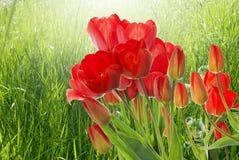 tulipes rouges fraîches sur le fond abstrait de nature de ressort Photographie stock