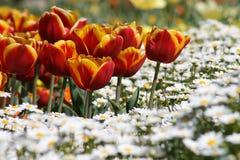 Tulipes rouges/jaune avec les estrades blanches Photographie stock