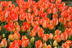 Tulipes rouges jaunes Image stock
