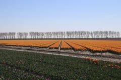 tulipes rouges jaunes dans les rangées dans un long domaine de fleur dans Oude-Tonge o images libres de droits