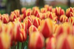 Tulipes rouges jaunes dans un domaine photos stock