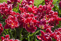 Tulipes rouges, Keukenhof, Pays-Bas images stock