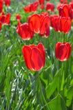 Tulipes rouges lumineuses Photo libre de droits