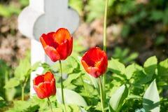 Tulipes rouges lumineuses sur la tombe photos libres de droits