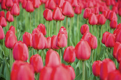 Tulipes rouges pendant le ressort Photographie stock libre de droits