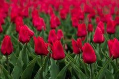 Tulipes rouges pour la conception de d?coration de c?l?bration Fond de fleur de ressort Concept de printemps Composition florale  image libre de droits