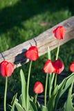 Tulipes rouges rayonnantes atteignant pour le dessus de la barrière photos libres de droits