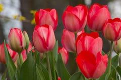 Tulipes rouges sauvages à un bord de la route à Goettingen, Allemagne au printemps Photographie stock libre de droits