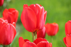Tulipes rouges sous un ciel ensoleillé sur le fond d'herbe verte Photo libre de droits