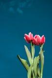 Tulipes rouges sur le fond de ciel bleu Photo stock