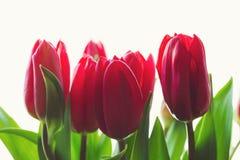 Tulipes rouges sur le fond de lumière blanche Photos stock