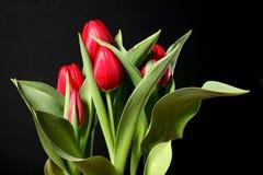 Tulipes rouges sur le noir Photos stock
