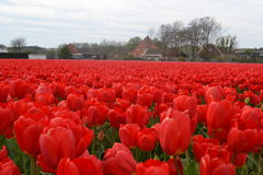 Tulipes rouges sur un champ ensoleillé au printemps Photographie stock