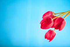 Tulipes rouges sur un fond bleu photo stock