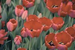Tulipes rouges sur un fond vert Macro Photo stock