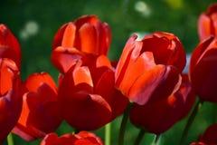Tulipes rouges sur un fond vert Macro Photographie stock libre de droits