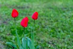 Tulipes rouges sur un fond vert normal Foyer s?lectif Copiez l'espace image stock
