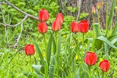 Tulipes rouges sur une pelouse de floraison de ressort Images stock