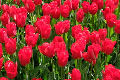 Tulipes rouges - VDNH - Moscou, Russie Images libres de droits
