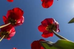 Tulipes rouges vues de bas en haut dans un domaine près d'Amsterdam photo stock
