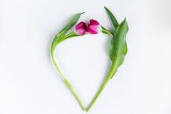 Tulipes sous la forme de coeur sur le fond blanc Photo libre de droits