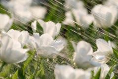 Tulipes sous la pluie image stock