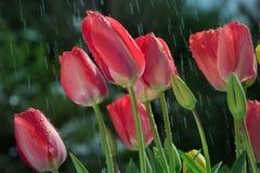Tulipes sous la pluie Photographie stock libre de droits