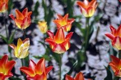 Tulipes stupéfiant des fleurs de ressort Fleurs oranges de tulipes de l'amour photographie stock